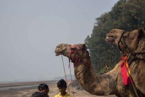 Camels in Nagaon