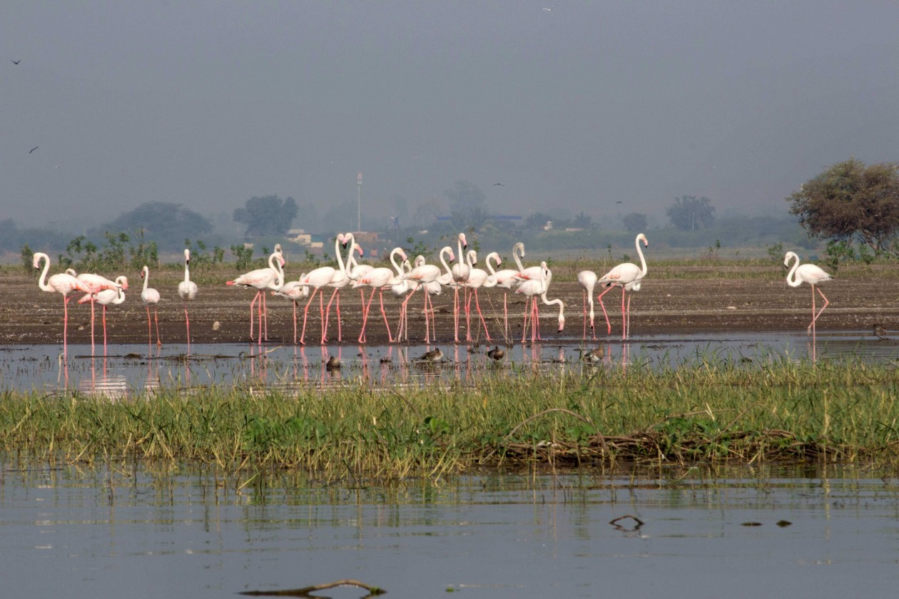 Flamingos-Bhigwan
